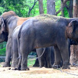 Elephants, Bannerghatta National Park, around Bangalore