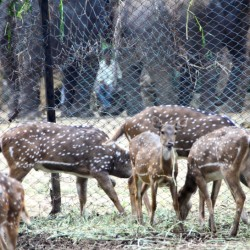 Spotted Deer, Bannerghatta National Park, around Bangalore