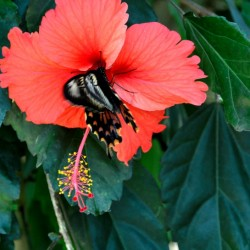 Hibiscus, Butterfly Park