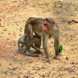 Monkey, Shimoga Lion Safari