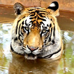 Tiger in a pool, Shimoga Lion Safari